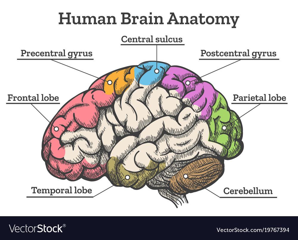 Basic Brain Diagram Pdf - Circuit Wiring And Diagram Hub •