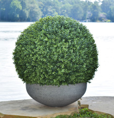 Preserved Boxwood Ball 22 Mills Floral Company