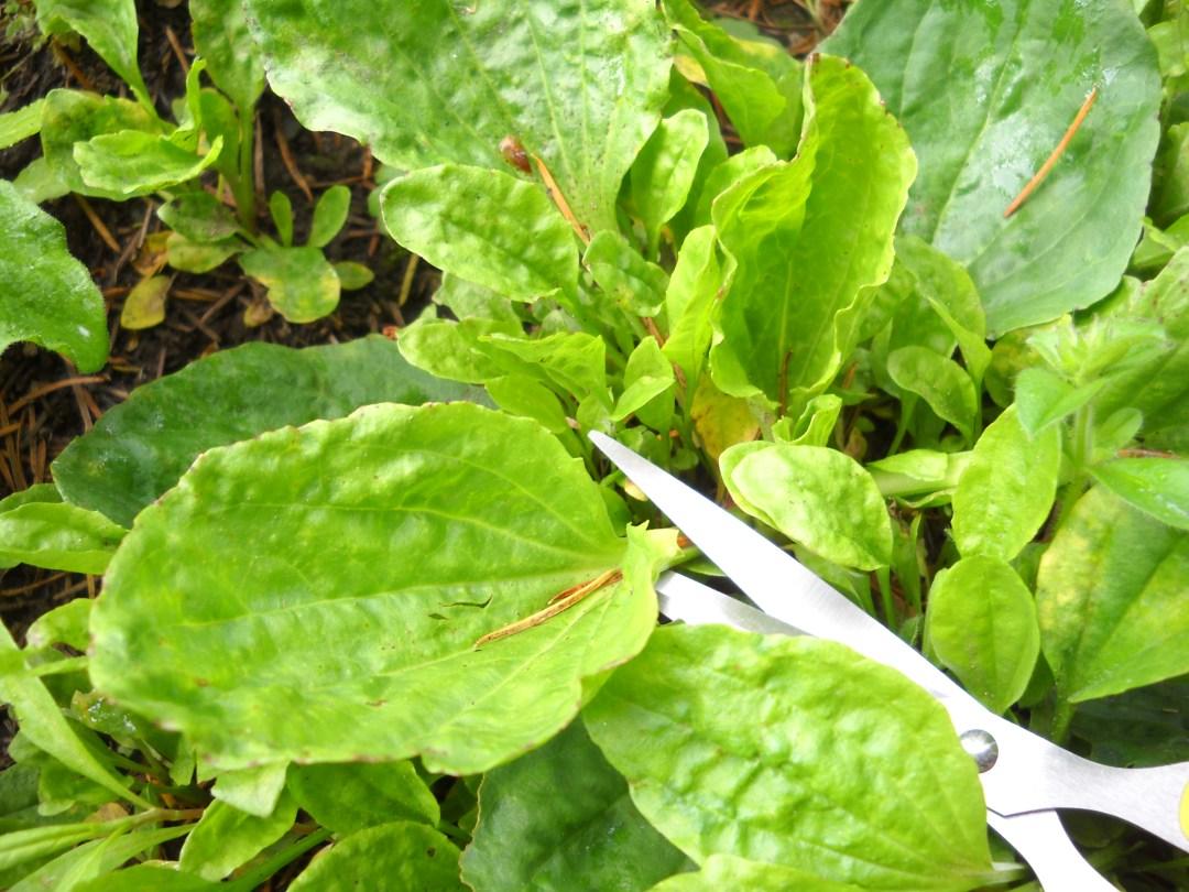 Plantain Leaf Harvesting