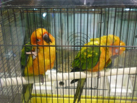 PARROTS BEING SOLD AT BIORESEARCH PET SHOP LOCATED IN MEGAMALL , MANDALUYONG CITY PHILIPPINES. PHOTO TAKEN : SEPTEMBER 5 , 2008