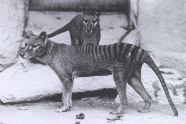 Dois tigres-da-tasmânia, macho e fêmea, no Zoo Nacional em Washington, 1902