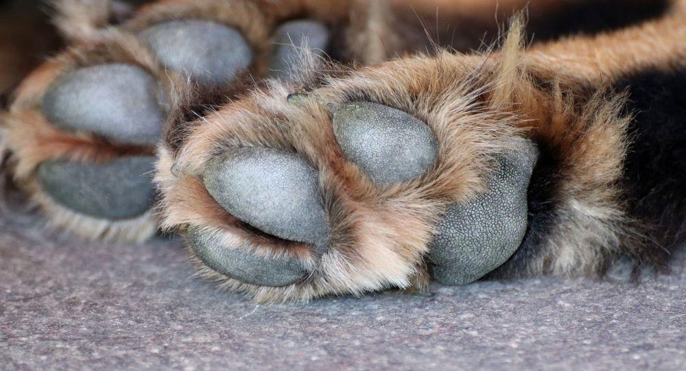 Une quarantaine de chiens vivant dans des «conditions catastrophiques» saisis chez une particulière dans l'Oise