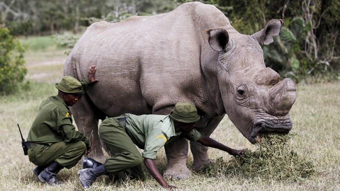 Resultado de imagen para muere rinoceronte blanco