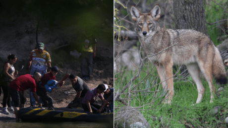 Suspected 'coyote' smuggling people across the US-Mexico border ; the other kind of 'coyote'