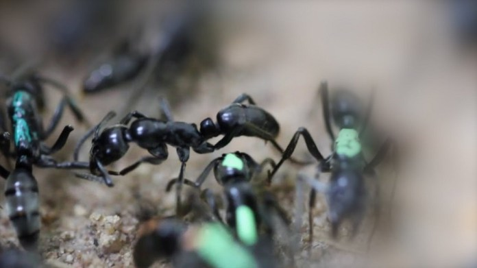 A Singapore citizen leaves his profession and opens an ant store (video)