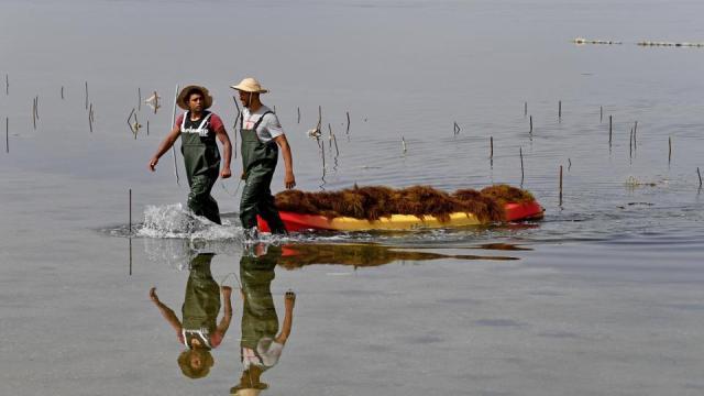 Workers harvest red seaweed (algae) in the Menzel Jemil lagoon in Tunisia's northern Bizerte region on May 27, 2021.