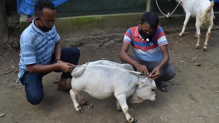 People measure a dwarf cow named Rani, whose owners applied to Guinness Book of Records claiming it to be world's smallest cow, at a cattle farm in Charigram, Bangladesh on July 6, 2021.