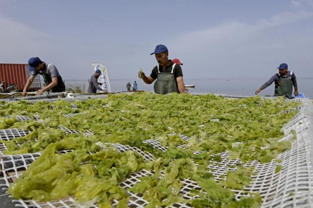 Workers process drying harvested red seaweed (algae) in the Menzel Jemil lagoon in Tunisia's northern Bizerte region on May 27, 2021
