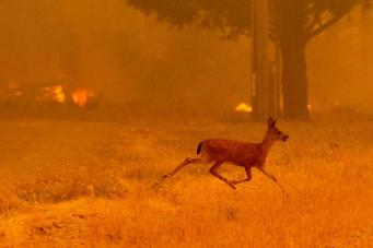 A deer runs from flames as the Ranch Fire tears down New Long Valley Rd near Clearlake Oaks, California, on Saturday, August 4, 2018. The Ranch Fire is part of the Mendocino Complex, which is made up of two blazes, the River Fire and the Ranch Fire.