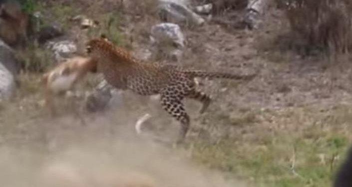 De un solo salto: un leopardo captura a un impala