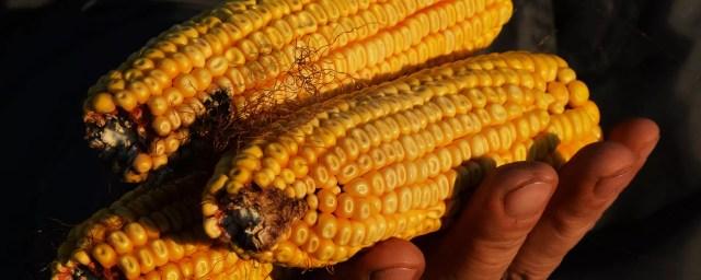 Mazorcas de maíz - Sputnik Mundo, 1920, 30.09.2021