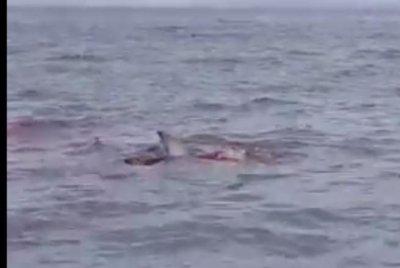 River Bull Shark Caught