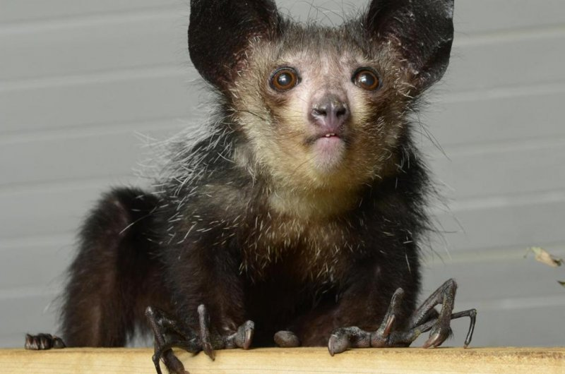 Biologists find sixth finger on aye-aye