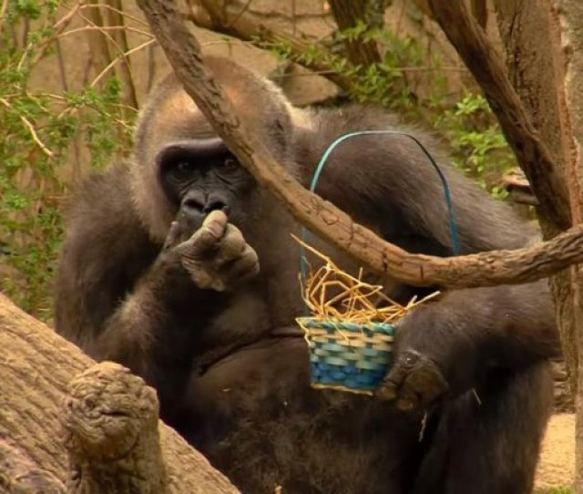 Gorillas Hunt For Easter Eggs At Cincinnati Zoo
