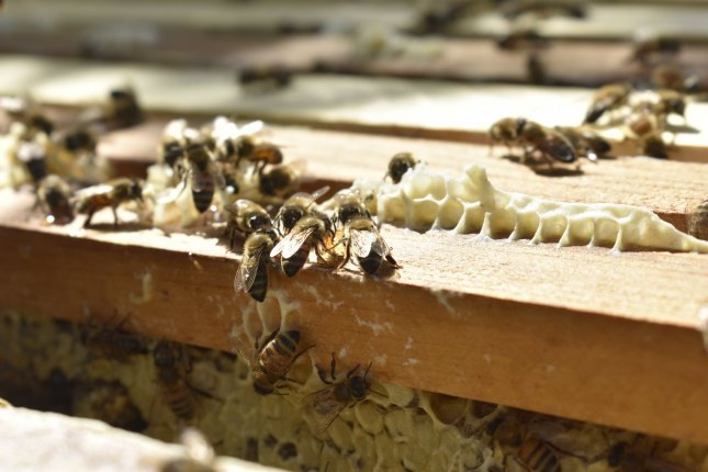 Africanized bees create a hive. Bees from a 100-pound beehive in Arizona swarmed this week, killing one person and injuring several others. Photo by Zarrin Tasnim Ahmed / UPI