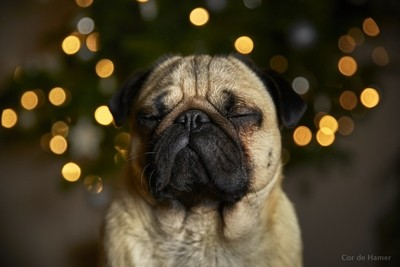 Our pug Sam is having a zen Christmas by theoherbots