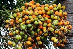 Kunyah Pinang, Kebiasaan Tradisional Indonesia Pencegah Kanker
