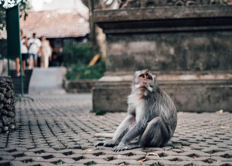 Seguro Viagem, Ásia - acidentes com animais, em especial os macacos