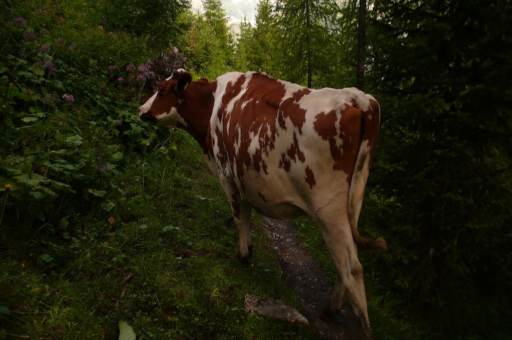 photo of cow wandering through the woods