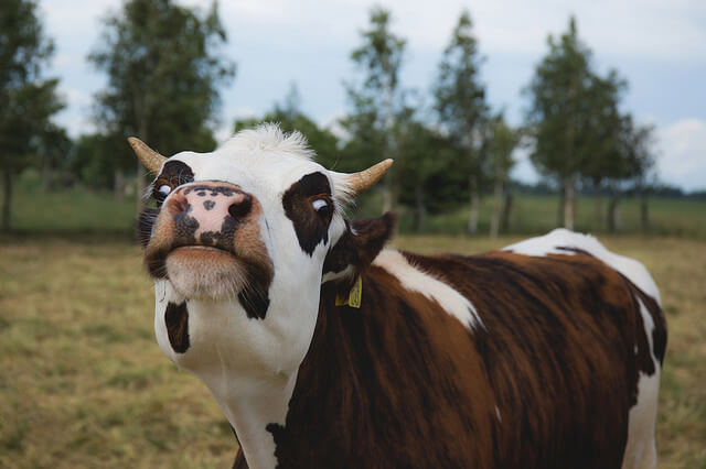photo of cow with funny expression
