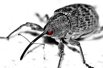 photo of a Boll Weevil