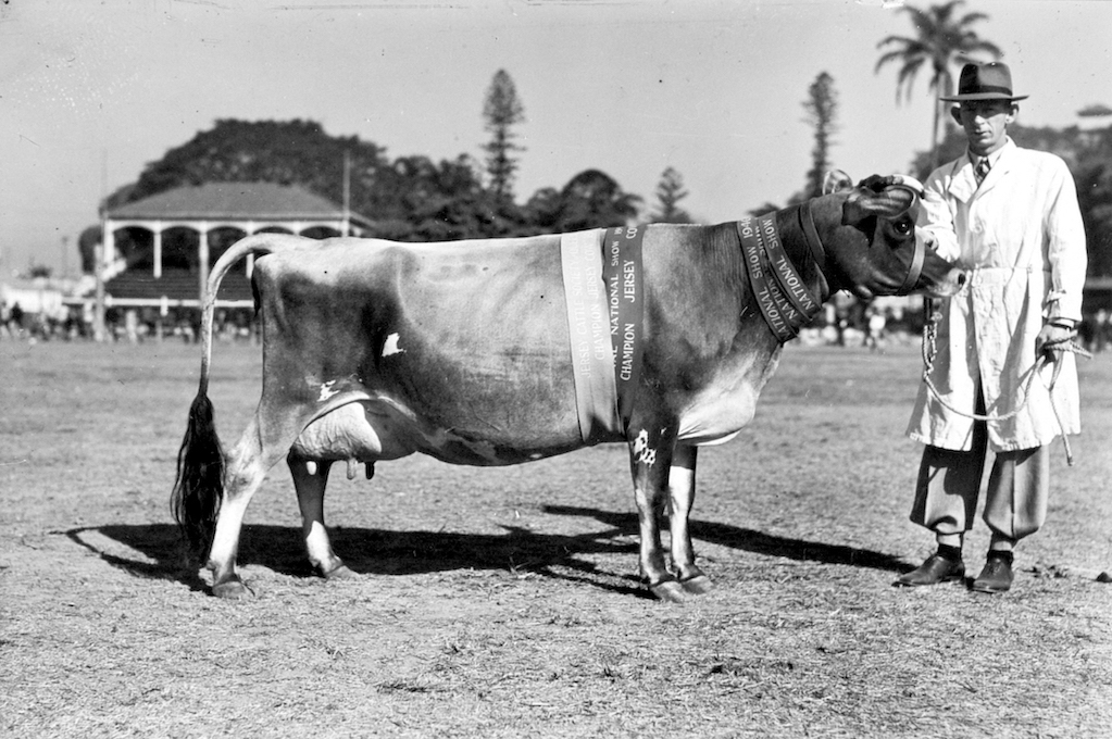 old photo of a man standing next to a champion jersey cow