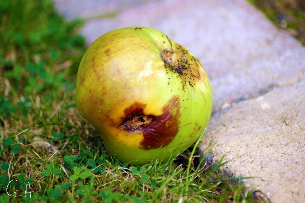 photo of rotting green apple on grass