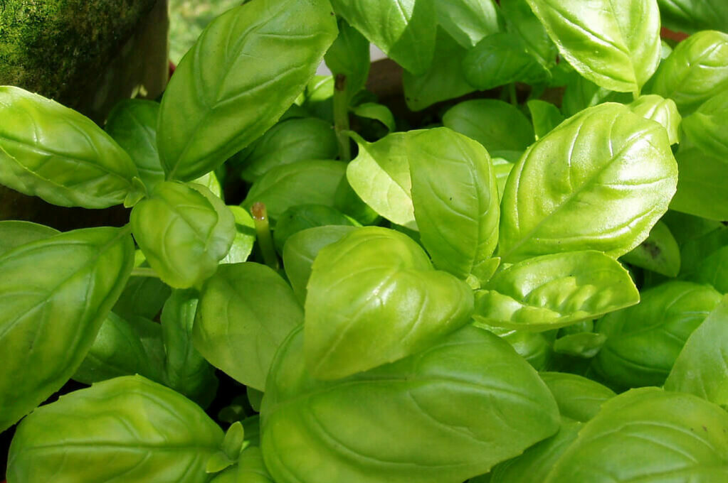 photograph of a basil plant