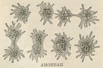 vintage illustration of amoebae