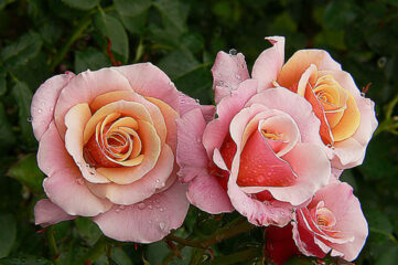 photo of pink roses