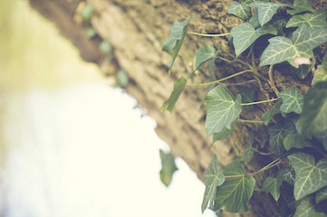 photo of ivy growing on a tree