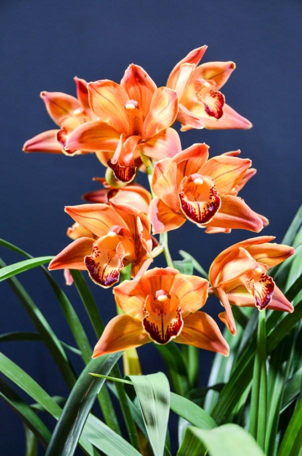 Farm Flowers Cymbidium Orchid 2-21-14 (2)