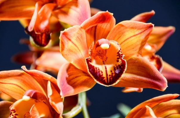 Farm Flowers Cymbidium Orchid 2-21-14 (5)