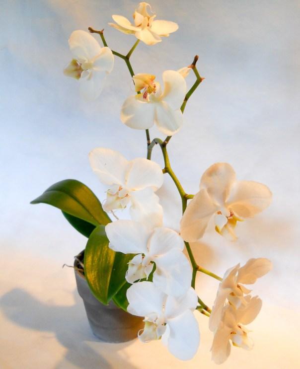 Orchids 2014 (5)