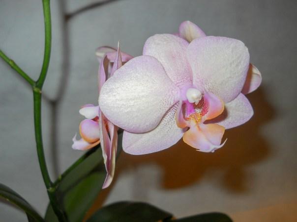 Orchids 2014 (7)