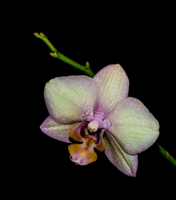 Phalenopsis Orchid 4-22-16 (11)