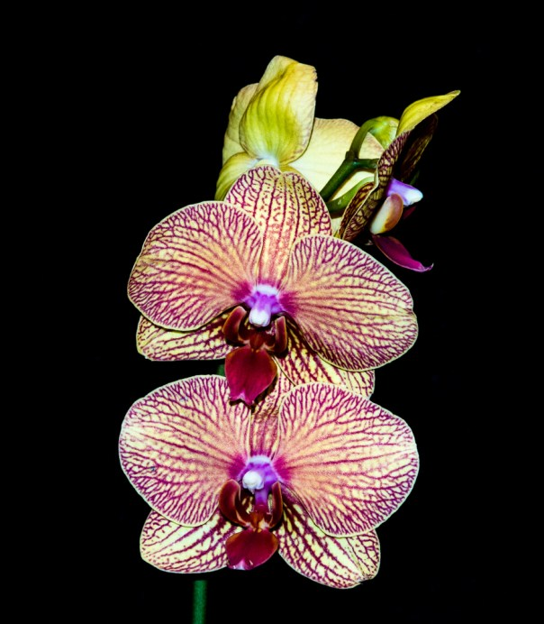 Phalenopsis Orchid 4-22-16 (5)