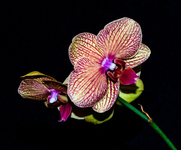 Phalenopsis Orchid 4-22-16 (7)