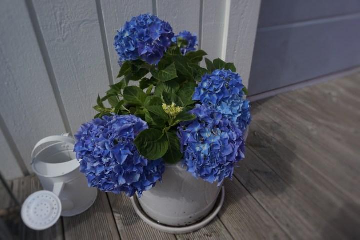 hortensia i blom.jpg