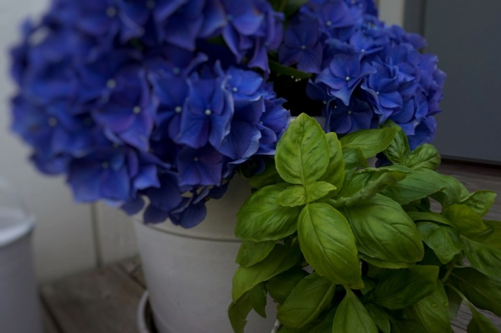 basilka och hortensia.jpg