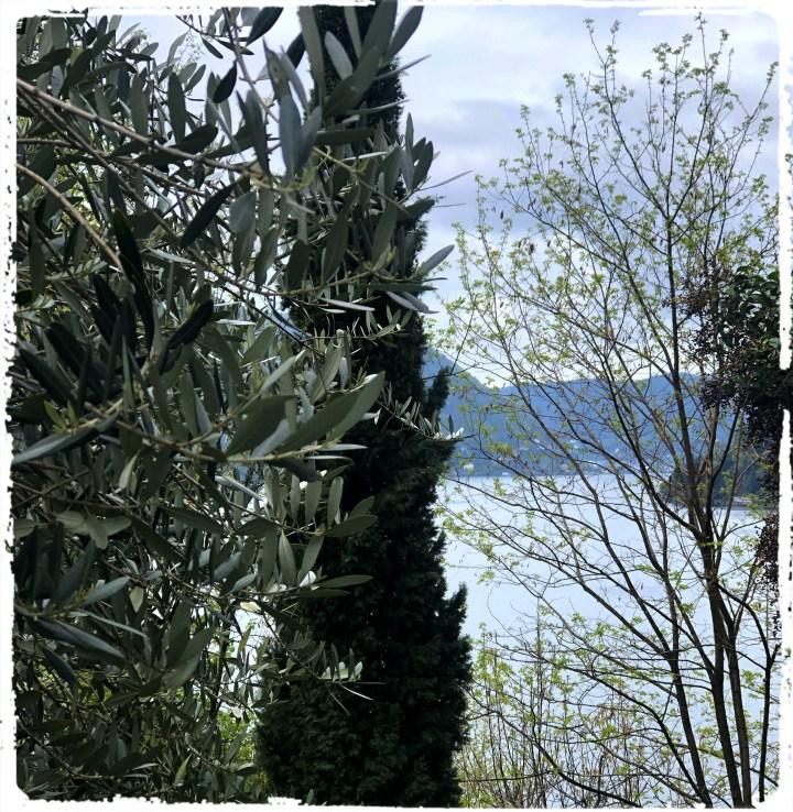 oliv och cypress.jpg