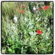 Poppy time greenhouse