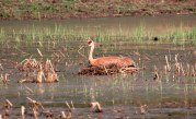 Sandhill Crane on Nest