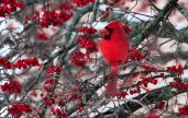 Cardinal and Berries - Whitewater, Wisconsin (December)