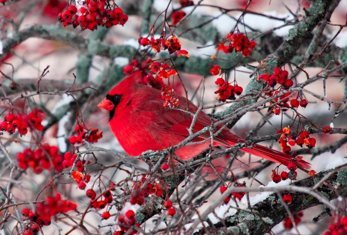 A bright red cardinal perched in a tree of red berries. Snow in the background.