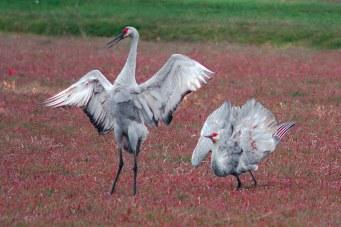 Two sandhill cranes in dance postures