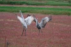 cranes_39v2