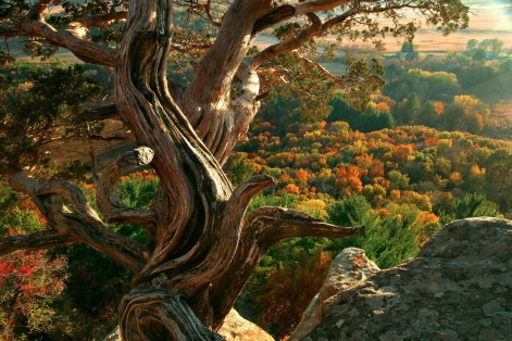 Gnarled cedar in the foreground looking to fall foliage far below.