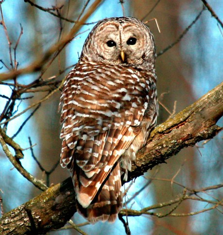 Barred owl perched on a tree branch looking directly at the camera