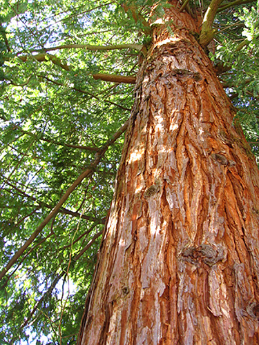 Why Choose Western Red Cedar